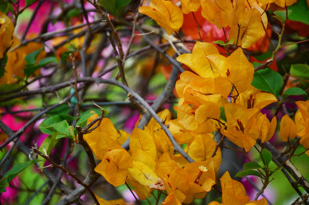 Bougainvillea hybrida or Bougainvillea, Paper flower, Peper Flower, Kertas photo