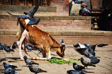 Cow on Durbar square at Kathmandu Nepal photo