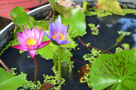 Lotus Flower or Water Lilly Blossom photo