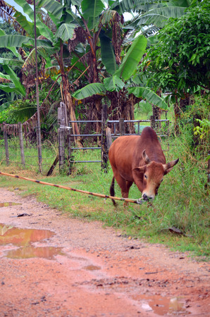 Thai people propel fighting bull go to field for eat grass at Phattalung province of southern Thailand. photo