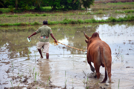 propel: Thai people propel fighting bull go to field for eat grass at Phattalung province of southern Thailand.