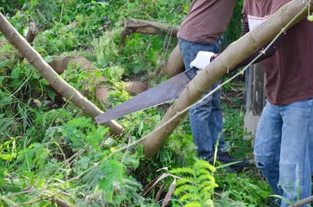 crosscut: Thai people use A crosscut hand saw about 620 mm (24 inches) long sawing tree