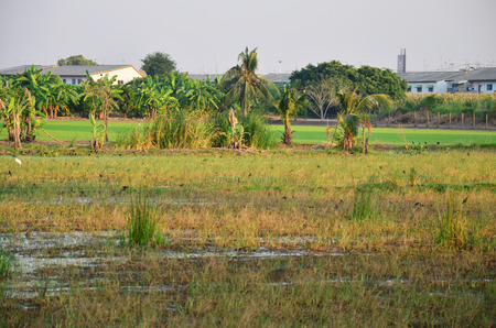ciconiiformes: Ciconiiformes and Swallows Bird on Paddy or Rice field at Nonthaburi, Thailand Stock Photo