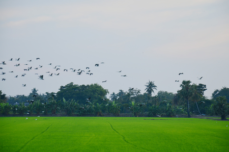 ciconiiformes: Ciconiiformes and Swallows Birds fly back to the nest on Paddy or Rice field at Nonthaburi, Thailand