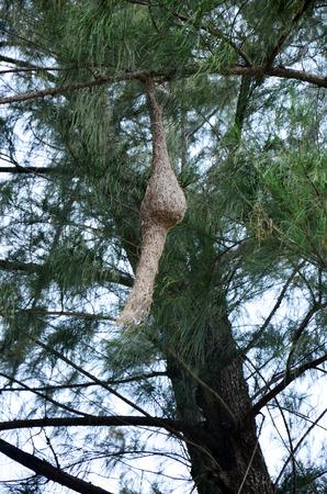 weaverbird of ricebird on pine tree photo