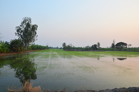 Sunset time with rice fields at countryside in Nonthaburi Thailand photo