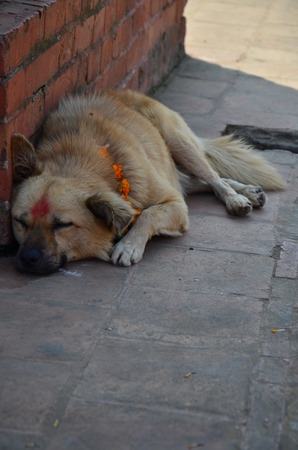 deepawali: Tihar Deepawali festival. It is a five-day-long Hindu festival celebrated in Nepal The second day is called Kukur Tihar or Kukur Puja (worship of the dogs) location in Patan  City Nepal.