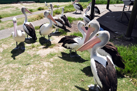 Spot-billed pelican Australian are a genus of large water birds in New South Wales is a state on the east coast of Australia. photo