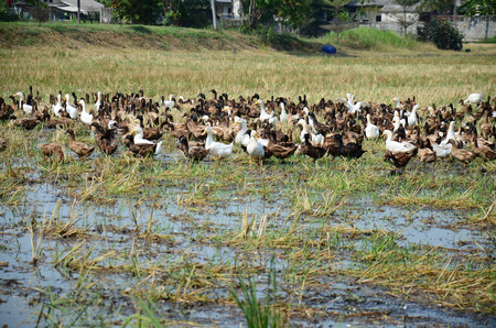 chase: Duck Chase Field Mob in Nonthaburi, Thailand