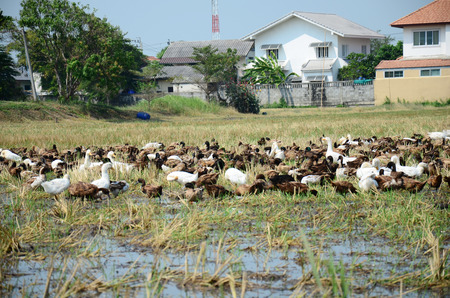 chased: Duck Chase Field Mob in Nonthaburi, Thailand