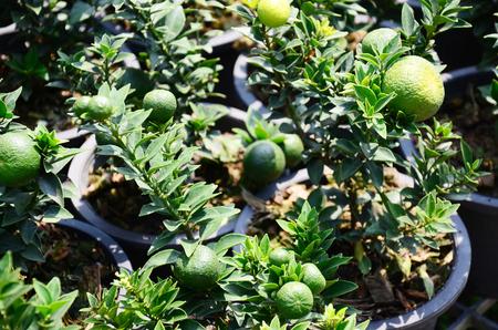 garden key: The Key lime plant in the garden Thailand