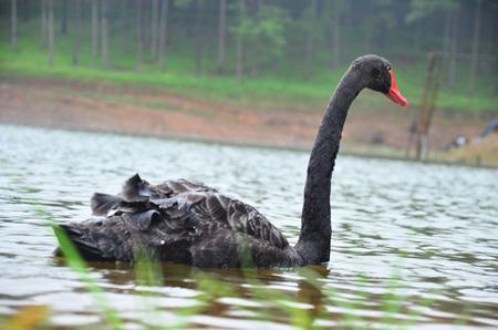 pang: Black Swan swimming at Pang Ung (Pang Oong) or Pangtong2 a large reservoir in Pang Ung is popular and attracts more and more visitors to come at Mae Hong Son, Thailand.