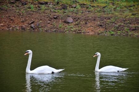 pang: White Swans swimming at Pang Ung (Pang Oong) or Pangtong2 a large reservoir in Pang Ung is popular and attracts more and more visitors to come at Mae Hong Son, Thailand.