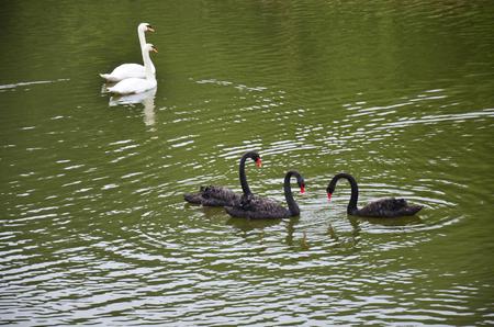 pang: Swans swimming at Pang Ung (Pang Oong) or Pangtong2 a large reservoir in Pang Ung is popular and attracts more and more visitors to come at Mae Hong Son, Thailand.