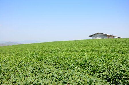 Tea plantation at Doi Mae Salong (Mountain) in Chiang Rai, Thailand. photo