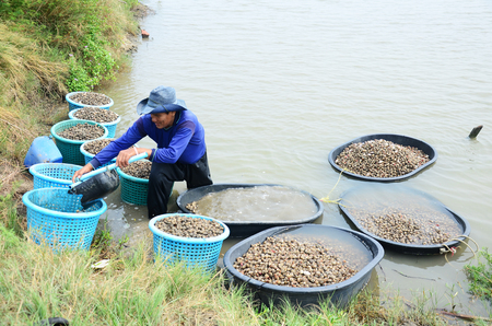Thai people aquaculture cockle farm and catching for sale at Bangkhunthein on April 12, 2015 in Bangkok Thailand. photo