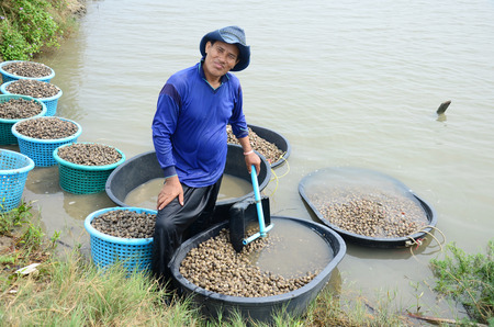 aquaculture: Thai people aquaculture cockle farm and catching for sale at Bangkhunthein on April 12, 2015 in Bangkok Thailand.
