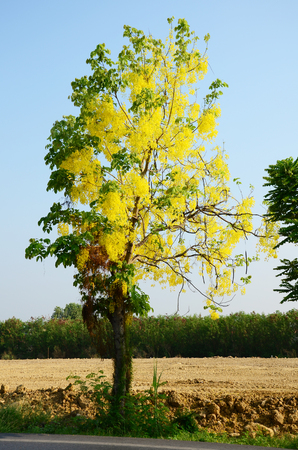 fistula: Wind with Cassia fistula known as the golden shower tree Stock Photo
