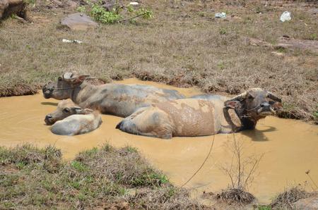 Laos buffalo in water photo