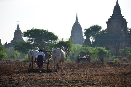 Burmese farmer with cow for plowing towing on paddy or rice field located at Pukam or Bagan on May 21 2015 in Mandalay Myanmar photo