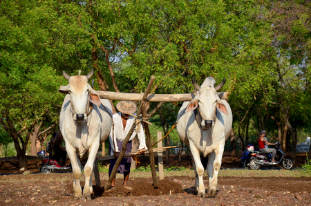 Burmese farmer with cow for plowing towing on paddy or rice field located at Pukam or Bagan on May 21 2015 in Mandalay Myanmar