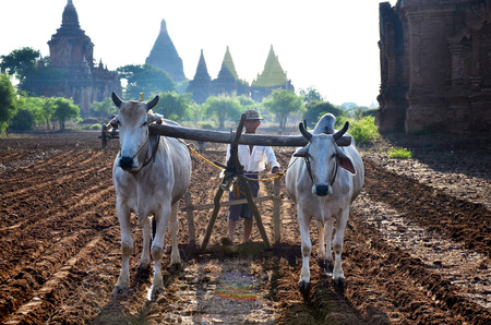 bagan: Burmese farmer with cow for plowing towing on paddy or rice field located at Pukam or Bagan on May 21, 2015 in Mandalay, Myanmar