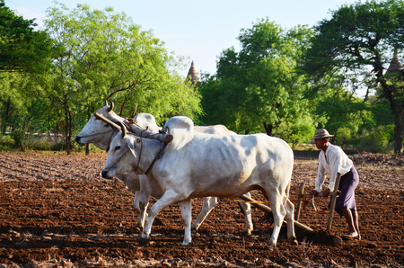 Burmese farmer with cow for plowing towing on paddy or rice field located at Pukam or Bagan on May 21, 2015 in Mandalay, Myanmar