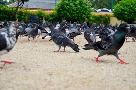thai people: Thai people feeding food for pigeon birds at Wat Phra Mahathat Woramahawihan on September 18, 2015 in Nakhon Si Thammarat, Thailand