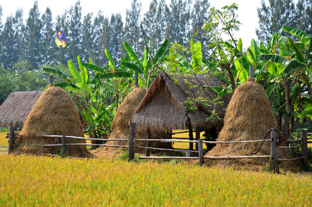 jim: Rice field and straw hut at Jim Thompson Farm at Countryside in Nakhon Ratchasima, Thailand