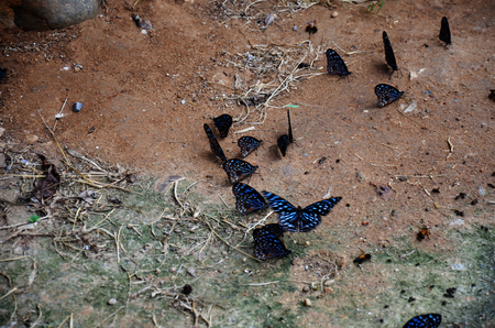 kaeng: Butterfly eating Salt licks on ground at PanoenThung forest in Kaeng Krachan largest national park of Phetchaburi, Thailand