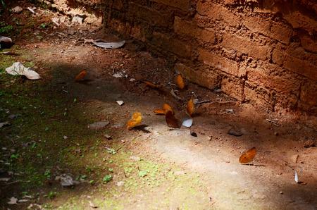 kaeng: Butterfly eating Salt licks on ground at PanoenThung forest in Kaeng Krachan largest national park of Phetchaburi, Thailand