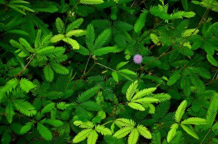 sensitive: Sensitive plant or mimosa plant also called sensitive plant, sleepy plant or shy plant Stock Photo