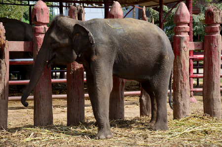 mahout: Thai Baby Elephant eating food in Ayutthaya, Thailand