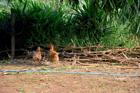 bantam hen: Betong chicken farm by farmers in the three southernmost provinces of Thailand