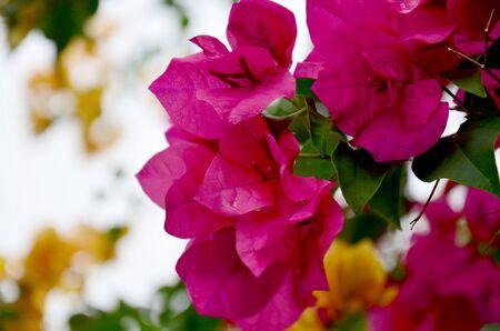 hybrida: Bougainvillea hybrida or Bougainvillea, Paper flower, Paper Flower, Kertas