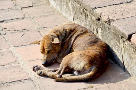 lepra: la lepra de la piel del perro que duerme en el exterior Foto de archivo