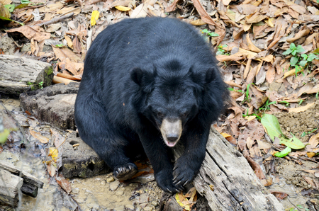 power giant: Motion of Asian black bear, asiatic black bear, Tibetan black bear,Himalayan black bear or moon bear relax at forest in Luang Prabang, Laos Stock Photo