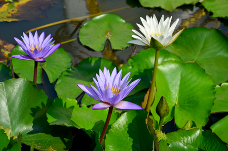 molly fish: White lotus flower and violet water lily blossom with Molly fish or Swordtail fishes swimming in water tank at garden