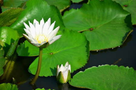 freshwater aquarium plants: White lotus flower or water lily blossom with Molly fish or Swordtail fishes swimming in water tank at garden