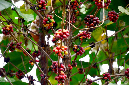 unpicked: Unripe coffee beans on coffee tree in garden at Bolaven Plateau in Paksong, Champasak, Laos