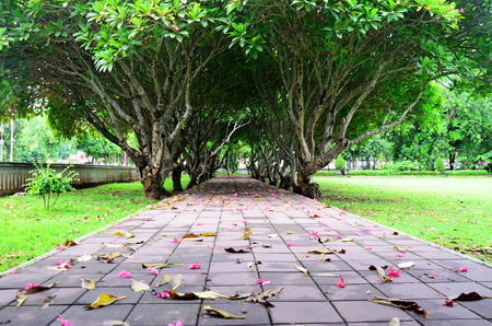 Plumeria or Templetree Flowers on floor and Frangipani trees tunnel at Nan, Thailand