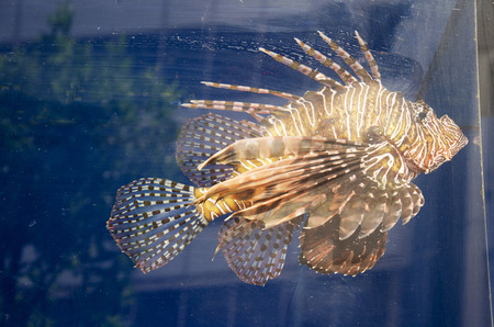fishtank: Lionfish swim in aquarium glass tank at home Stock Photo