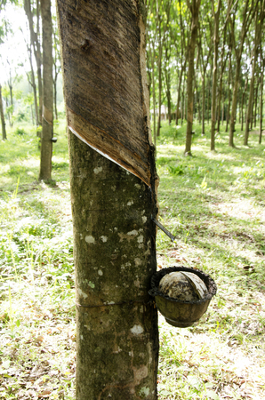 tapper: Plastic cup for rubber tapper latex from seringueira plant garden or rubber tree plantation at Ko Yao Noi in Phang Nga, Thailand Stock Photo
