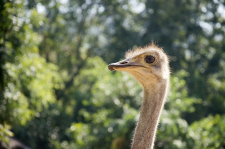 struthio camelus: Ostriches or common ostrich or Struthio camelus relax in farm at outdoor in Kamphaeng Phet Province, Thailand