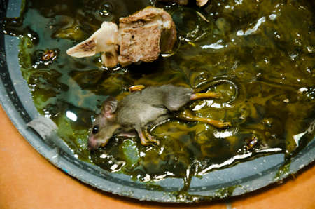 Rats on stick glue mousetrap in house Stock Photo