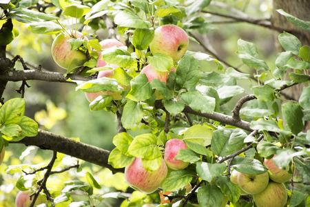 Apple tree at riverside of Passer river at Meran or Merano city in Italy Reklamní fotografie