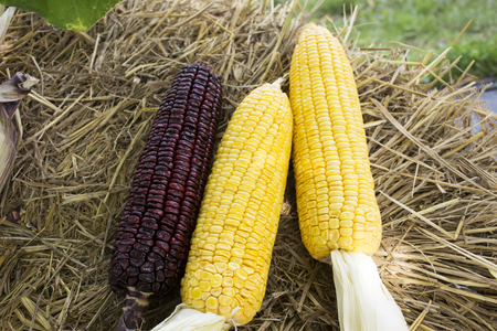 Waxy corn and Sweet Corn from agricultural corn plantation farm at countryside in Nonthaburi, Thailand 写真素材