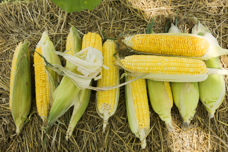 Zea mays Line Var Saccharata or Sweet Corn from agricultural corn plantation farm at countryside in Nonthaburi, Thailand