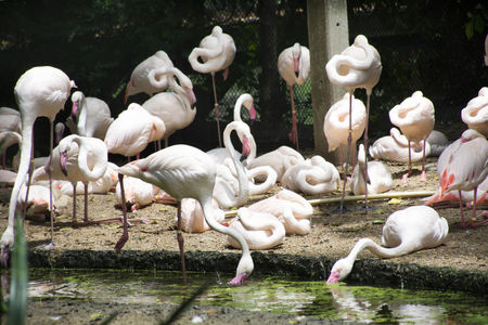 Flamingos or flamingoes birds in cage at public park in Bangkok, Thailand for Thai people and foreigner travelers walking visit and travel looking