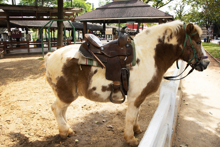 Dwarf horse standing relax in stable for thai people and foreigner travelers travel and visit at animal farm